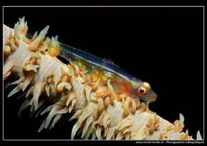 Little Goby on a Wip Coral... :O)... by Michel Lonfat 